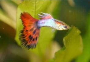 Jual Ikan Hias Pekanbaru
