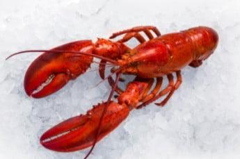 budidaya lobster air tawar di kolam terpal